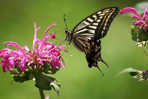 モナルダに蝶たちがいっぱい_f0030085_2114589.jpg