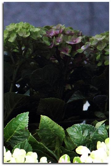 Hydrangea Ⅲ -The Last Shot-_e0166336_1525997.jpg