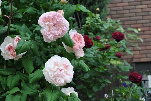 薔薇が咲きました**_e0159050_22574421.jpg