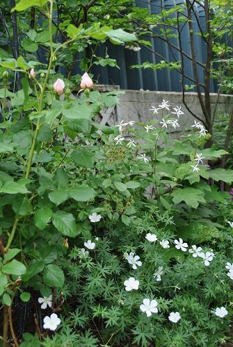 薔薇が咲きました**_e0159050_22592225.jpg