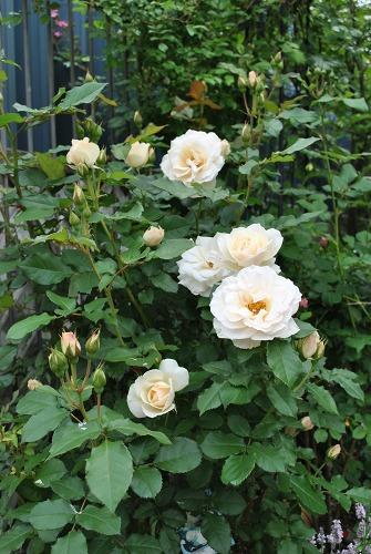 薔薇が咲きました**_e0159050_2325372.jpg