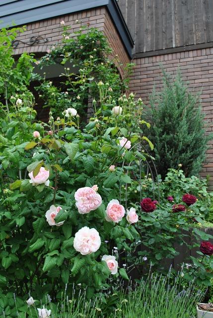 薔薇が咲きました**_e0159050_2331353.jpg