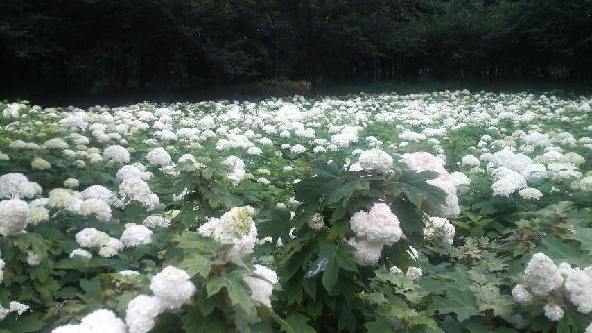 神奈川県北相公園のあじさい_f0028256_016245.jpg