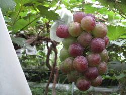 葡萄の色づきが始まった。_f0018099_18583969.jpg