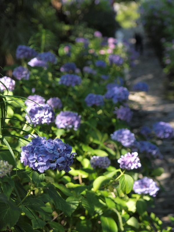 リベンジ紫陽花w_f0209144_47482.jpg