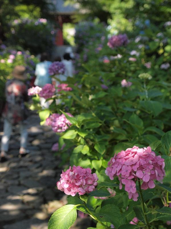 リベンジ紫陽花w_f0209144_474930.jpg