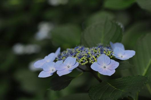 紫陽花(4)_c0093046_1129303.jpg