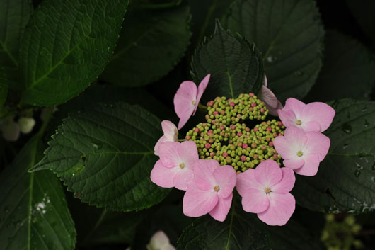 紫陽花(4)_c0093046_11294843.jpg