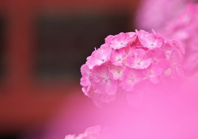 梅雨の本土寺 2011_f0018464_721988.jpg