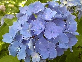 紫陽花図鑑 2011_c0189469_22354938.jpg