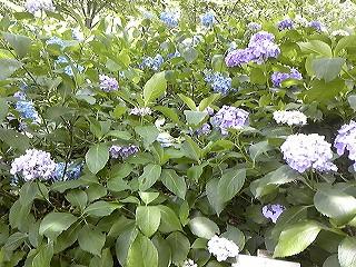紫陽花図鑑 2011_c0189469_2237716.jpg