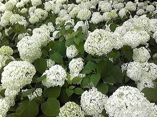 紫陽花図鑑 2011_c0189469_22384565.jpg