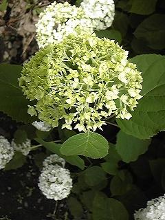 紫陽花図鑑 2011_c0189469_22403249.jpg