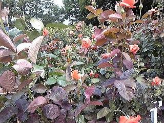 紫陽花図鑑 2011_c0189469_22425778.jpg
