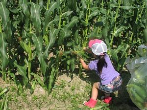トウモロコシ収穫体験です!_d0120421_18292734.jpg