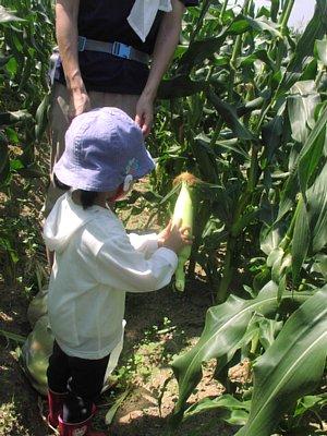 トウモロコシ収穫体験です!_d0120421_1829438.jpg