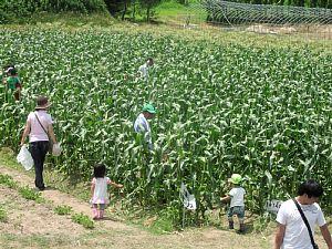トウモロコシ収穫体験です!_d0120421_18365425.jpg