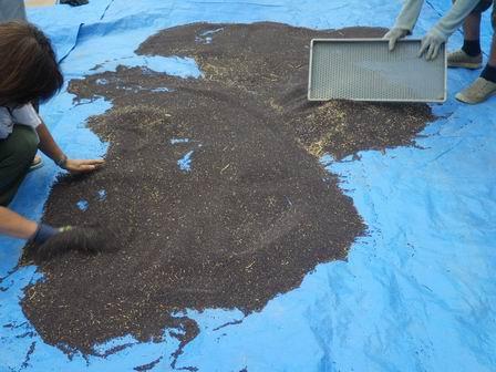 なのはなエコ――ナタネの種の乾燥終了しました_a0123836_11412671.jpg