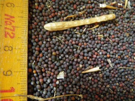 なのはなエコ――ナタネの種の乾燥終了しました_a0123836_1143205.jpg