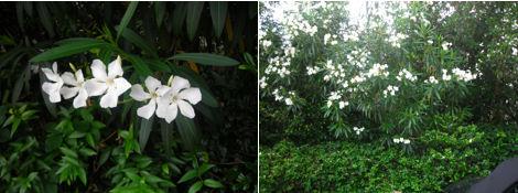 2日遅れの夏越の祓とクチナシの花探索_d0183174_11555865.jpg