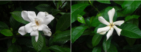 2日遅れの夏越の祓とクチナシの花探索_d0183174_1157251.jpg