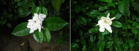 2日遅れの夏越の祓とクチナシの花探索_d0183174_11574799.jpg