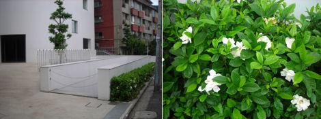 2日遅れの夏越の祓とクチナシの花探索_d0183174_1159369.jpg