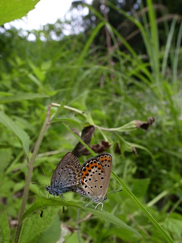 2011年7月上旬 甲州のオオミドリシジミとアサマシジミ_d0054625_23554243.jpg