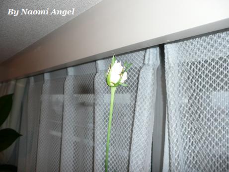 バラが咲いた♪_f0186787_11362574.jpg
