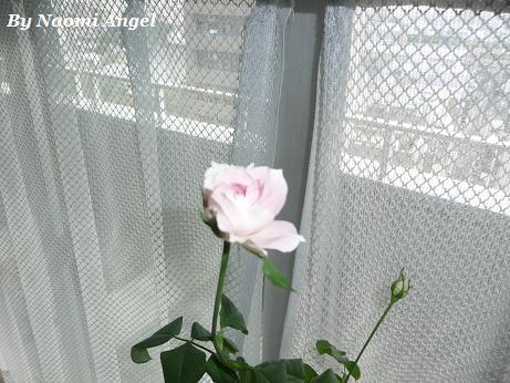 バラが咲いた♪_f0186787_1137355.jpg