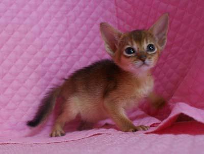 アビシニアン レッド フォーン ブルー 子猫 家族募集_e0033609_23262580.jpg