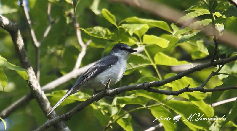 サンショウクイの幼鳥_c0217255_18145696.jpg