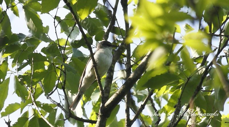 サンショウクイの幼鳥_c0217255_18151186.jpg