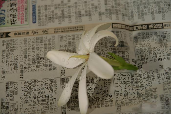 ティアレ・タヒチ 作成中_c0120834_8113692.jpg