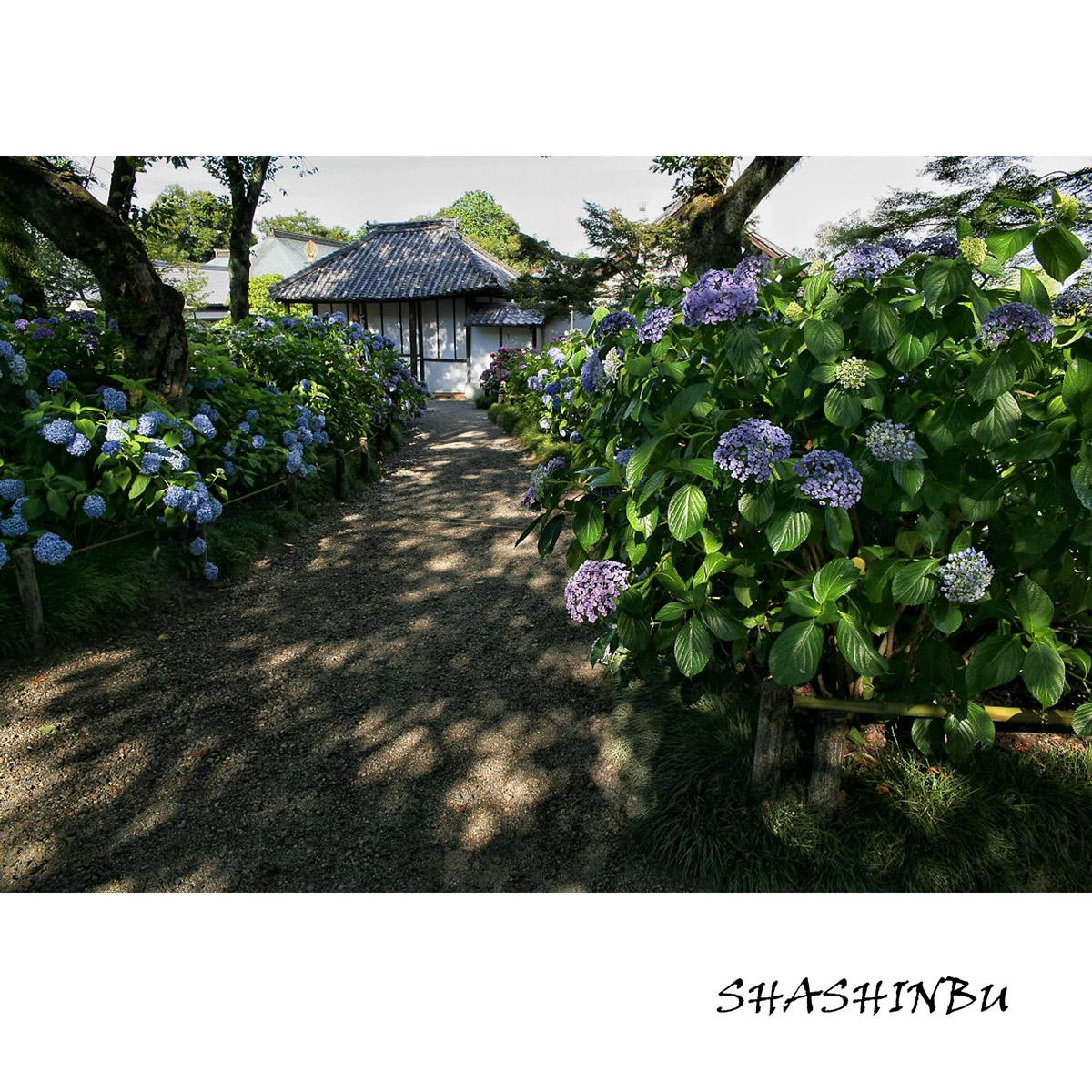 紫陽花 2011  <矢田寺>_f0021869_23184018.jpg