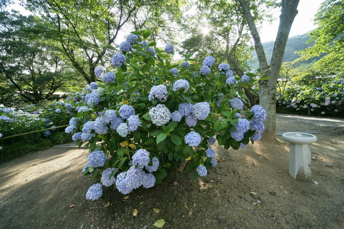 紫陽花 2011  <矢田寺>_f0021869_23214471.jpg