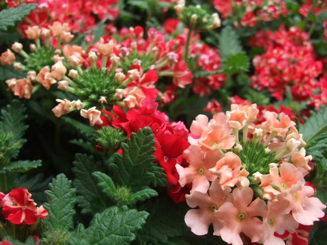 オークリーフ(サマーグリーンと山の花たち)_f0049672_16355698.jpg