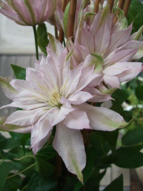 オークリーフ(サマーグリーンと山の花たち)_f0049672_16511336.jpg