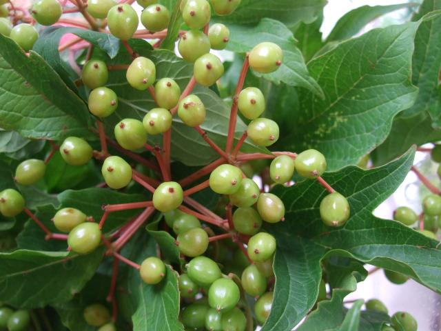 オークリーフ(サマーグリーンと山の花たち)_f0049672_16515833.jpg