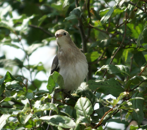 餌台まわり。子雀とコムクドリの幼鳥など♪_a0136293_191079.jpg