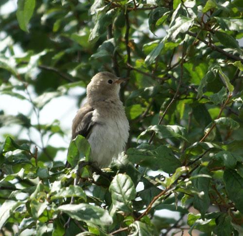 餌台まわり。子雀とコムクドリの幼鳥など♪_a0136293_19112895.jpg