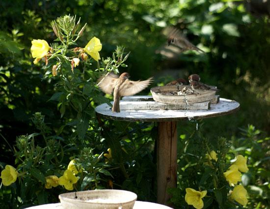 餌台まわり。子雀とコムクドリの幼鳥など♪_a0136293_19131634.jpg