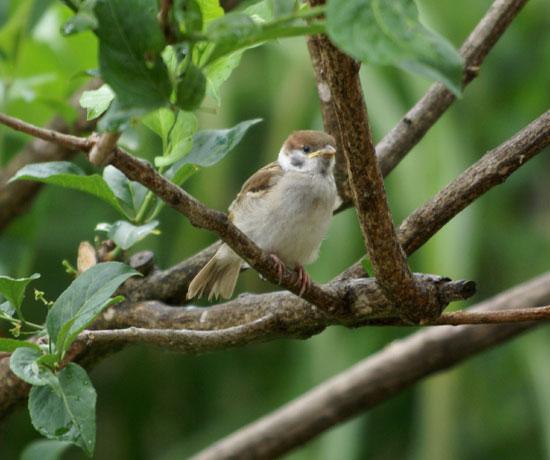 餌台まわり。子雀とコムクドリの幼鳥など♪_a0136293_193614.jpg