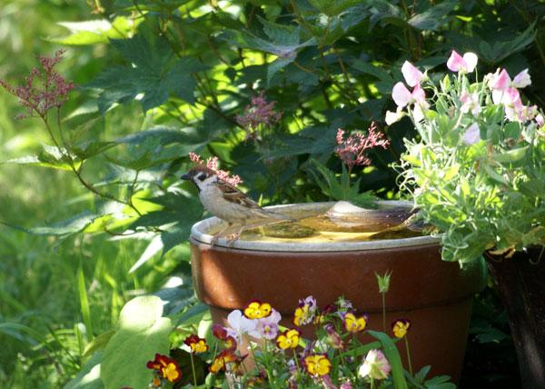 餌台まわり。子雀とコムクドリの幼鳥など♪_a0136293_1941060.jpg