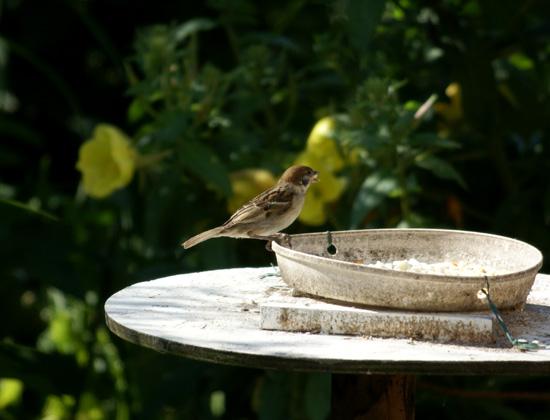 餌台まわり。子雀とコムクドリの幼鳥など♪_a0136293_1964528.jpg
