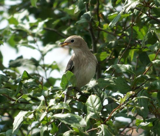 餌台まわり。子雀とコムクドリの幼鳥など♪_a0136293_1983942.jpg