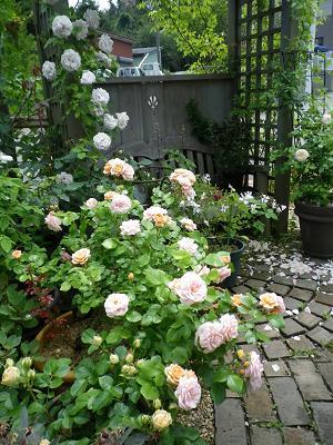 我が家のバラ・3と近況報告_e0086738_23514697.jpg