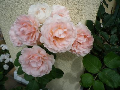 我が家のバラ・3と近況報告_e0086738_2352126.jpg