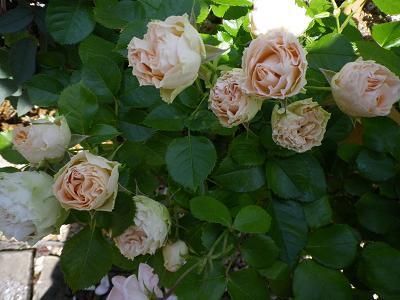 我が家のバラ・3と近況報告_e0086738_23524192.jpg