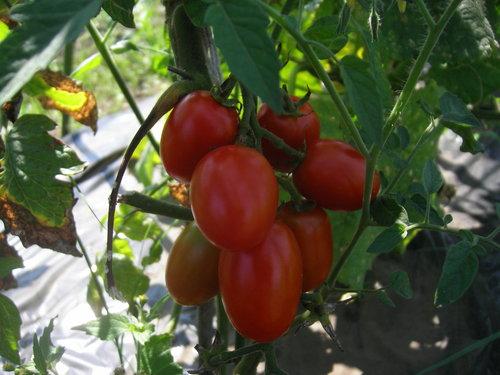 梅雨が明けて、夏野菜がどっさり_c0053863_1734269.jpg
